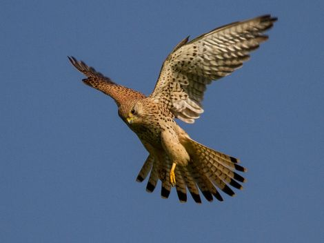 800px-Common_kestrel_in_flight