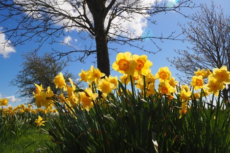daffodils with a watching cloud